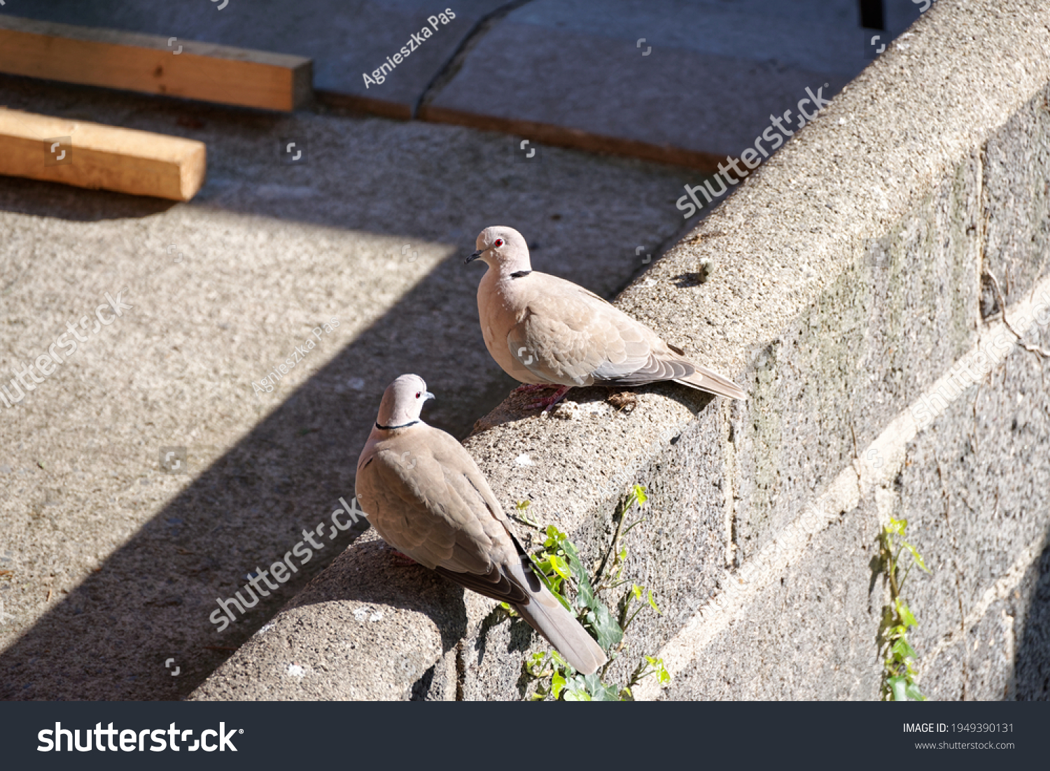 stock-photo-a-pair-of-collared-doves-str