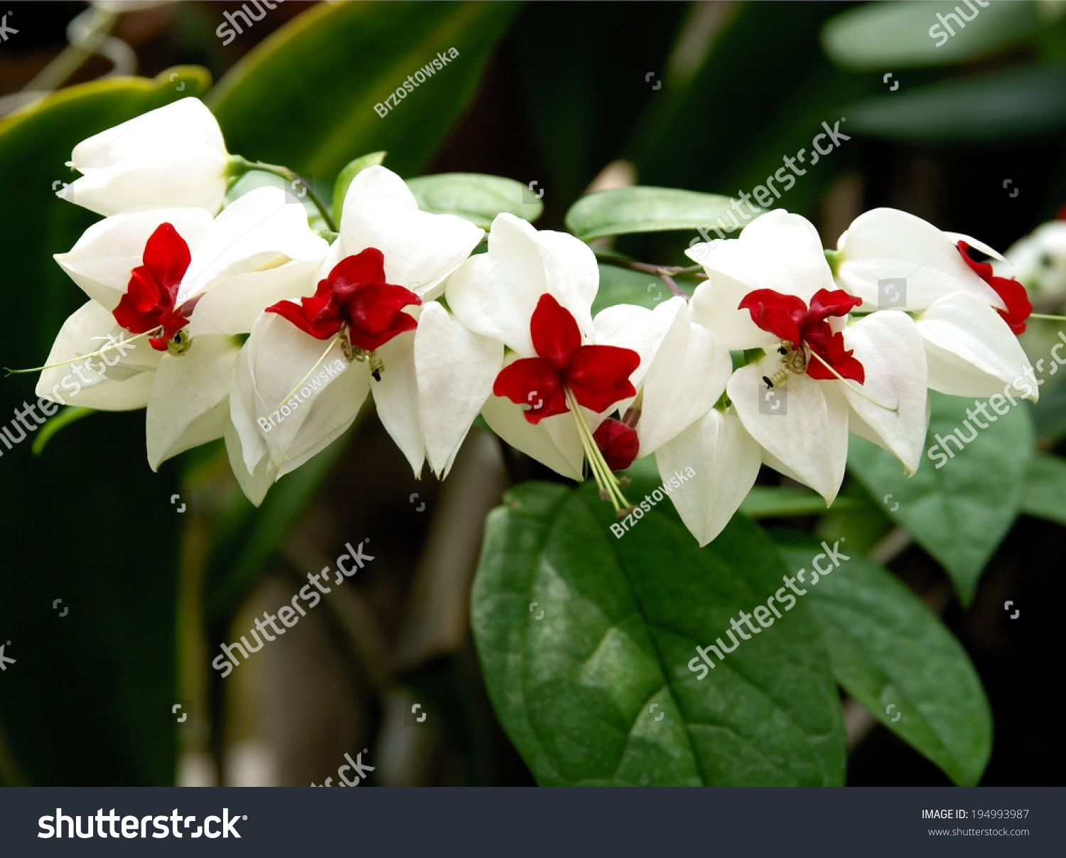 White Red Flower Clerodendrum Thomsoniae Creeper Stock Photo Edit