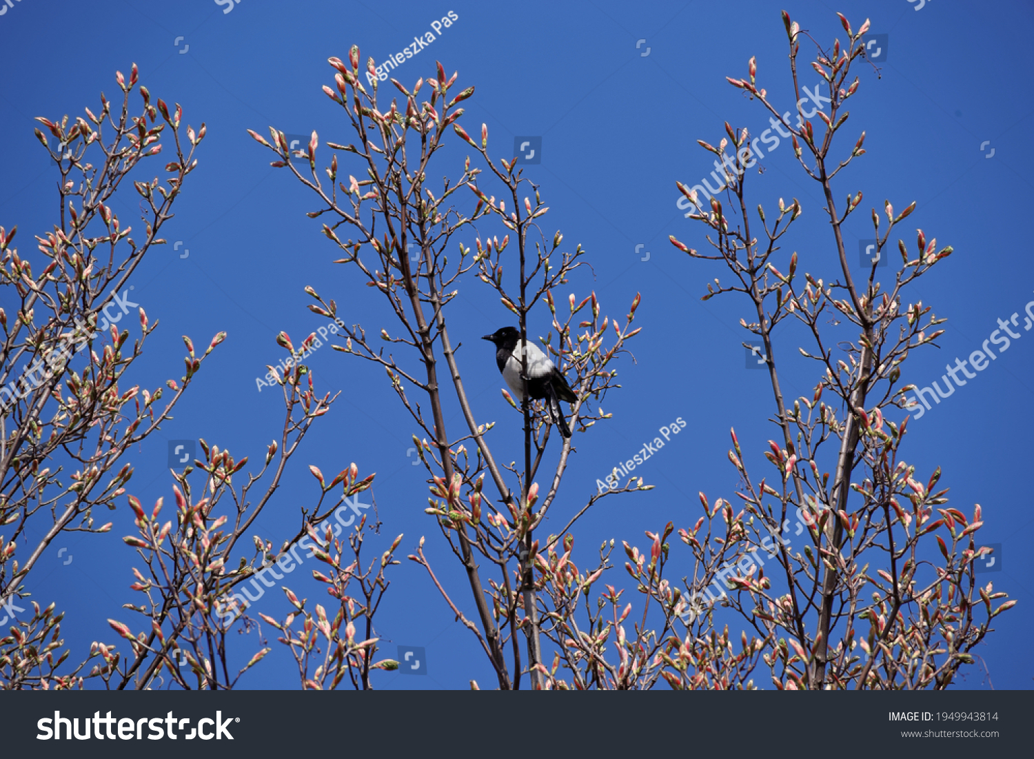 stock-photo-magpie-on-a-tree-with-buds-u