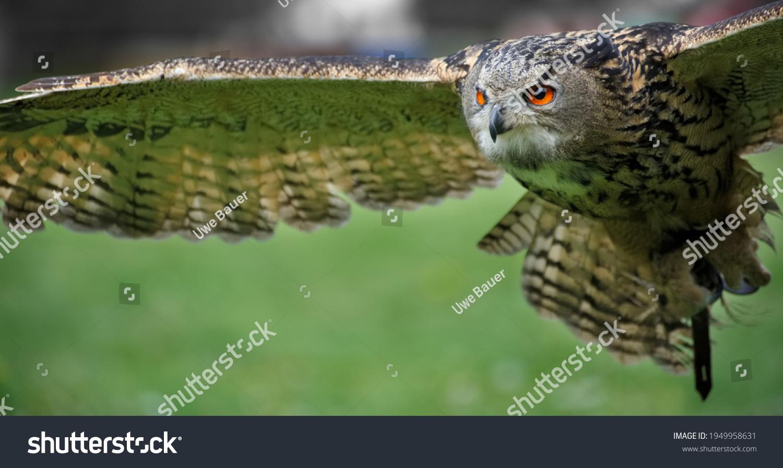 Eurasian eagle-owl (Bubo bubo) flying