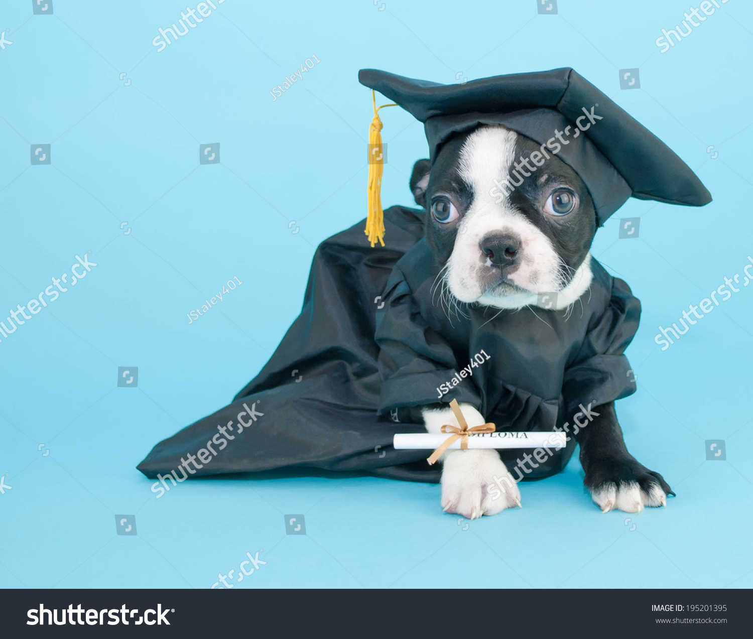 Boston Terrier Puppy Dressed Cap Gown Stock Photo 195201395 ...