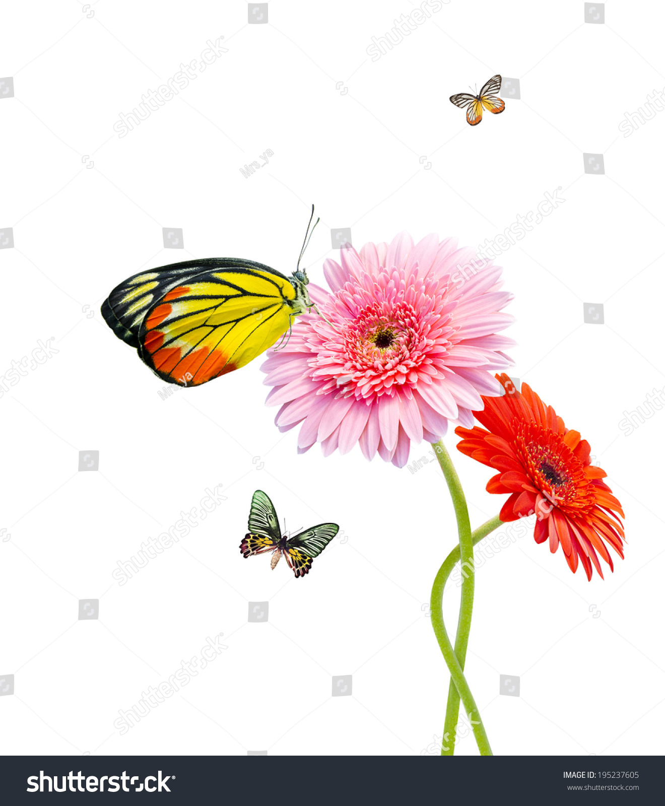 Butterfly On Pink Gerbera Flower Isolated Stock Photo 195237605
