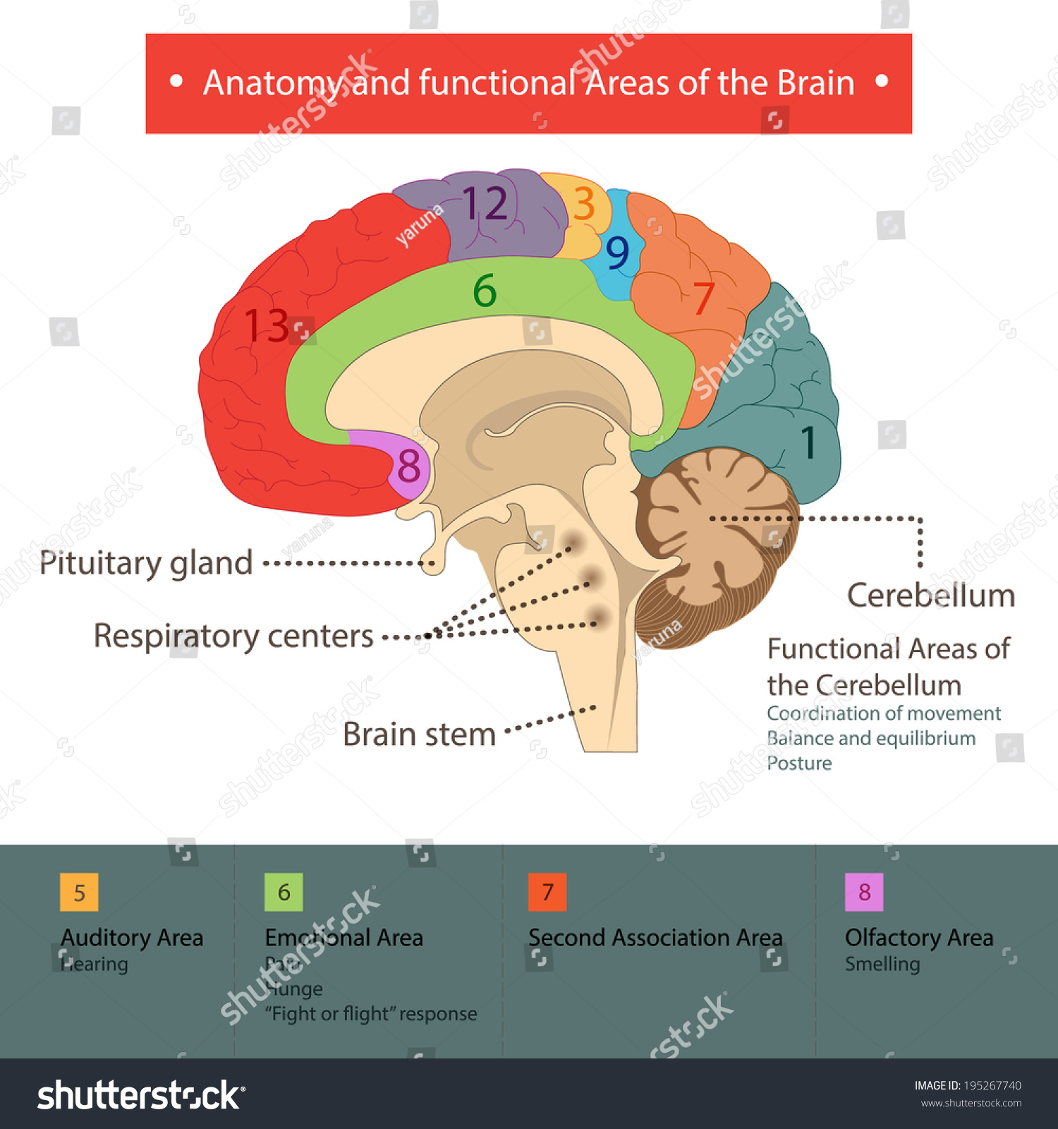 Areas Brain Stock Vector 195267740 - Shutterstock