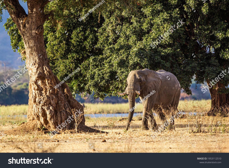 Elephants walking and feeding on the Zambesi plain in Zimbabwe #1953112510