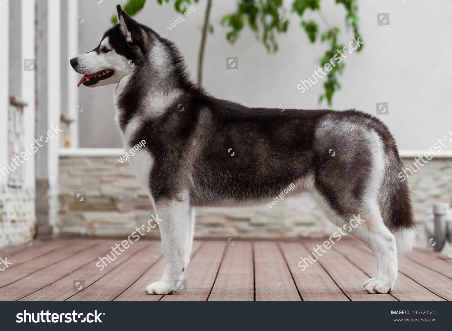 Siberian Husky Dog Standing Front Exhibition Stock Photo (Edit Now ...
