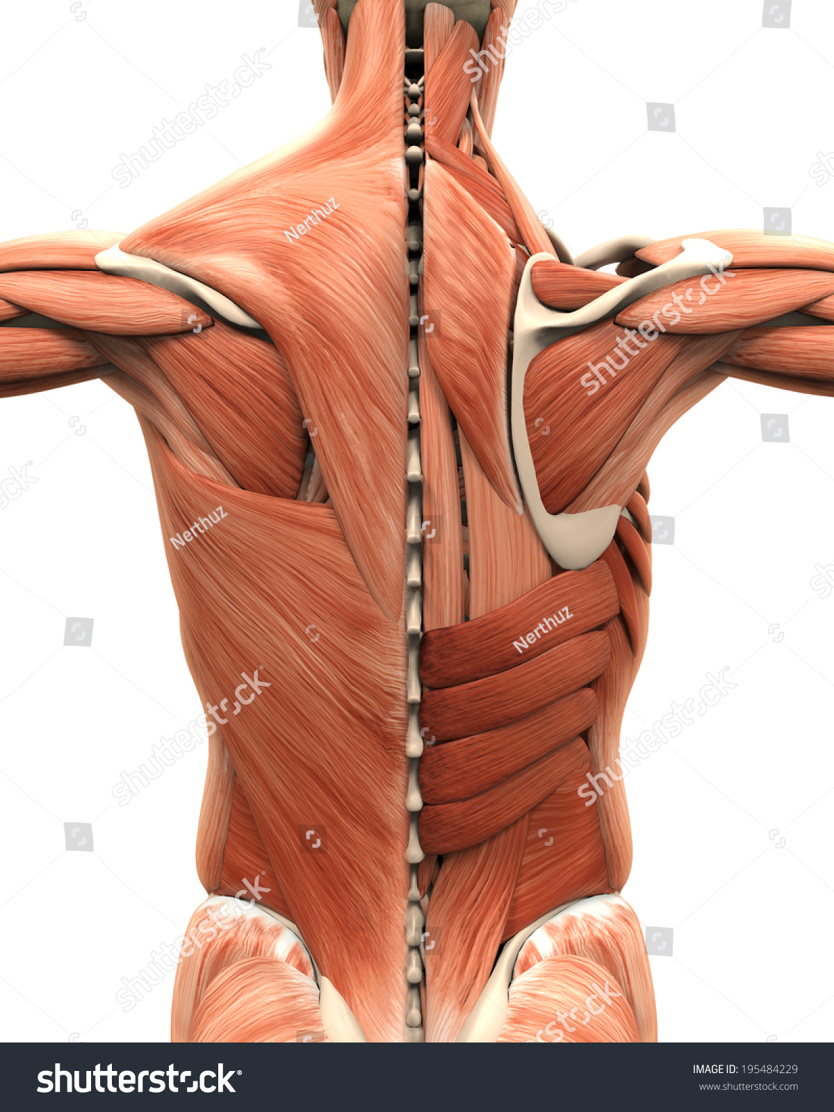 Muscular Anatomy Back Stock Illustration 195484229 - Shutterstock