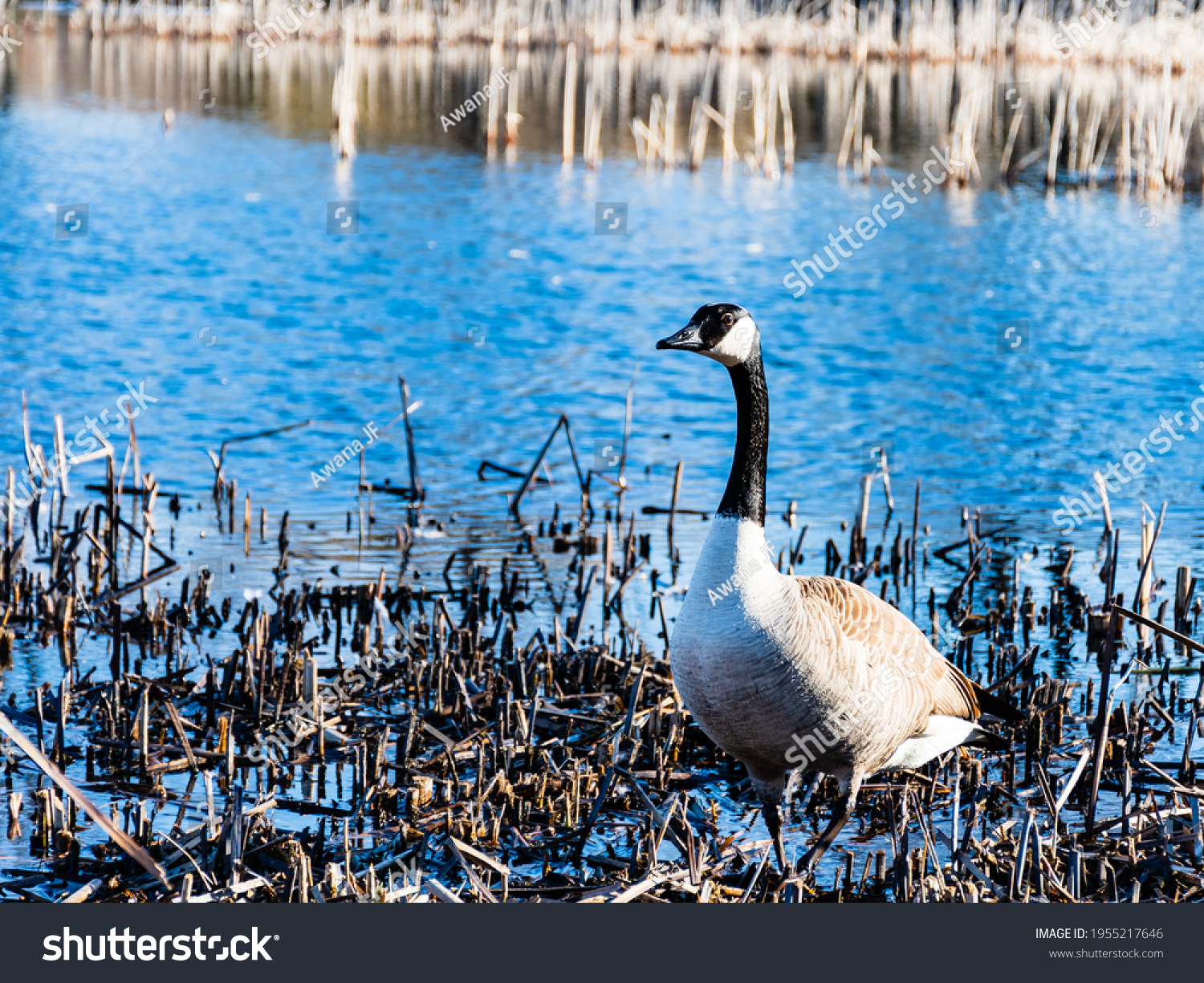 stock-photo-view-of-a-canadian-goose-sta