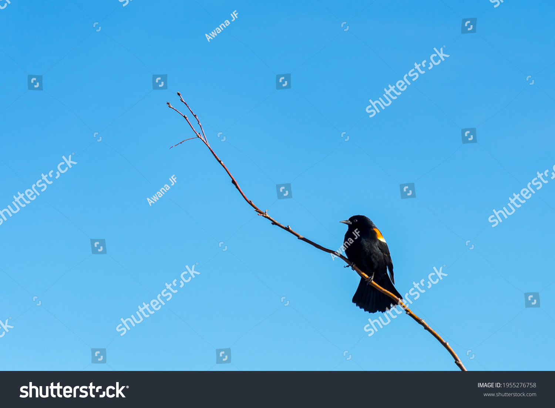 stock-photo-a-red-winged-blackbird-agela