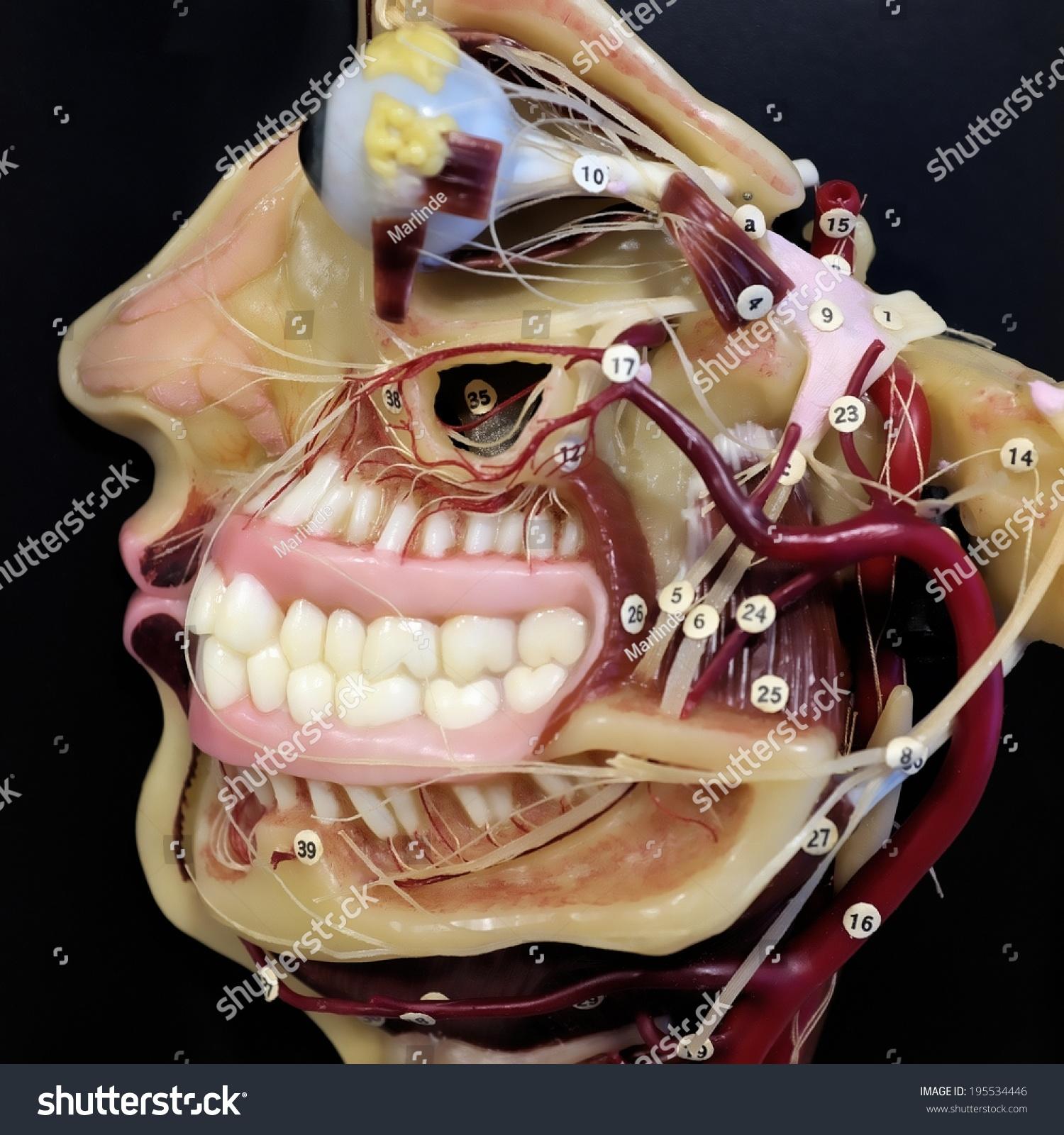 Anatomy Maxilla Mandible Stock Photo Safe To Use 195534446