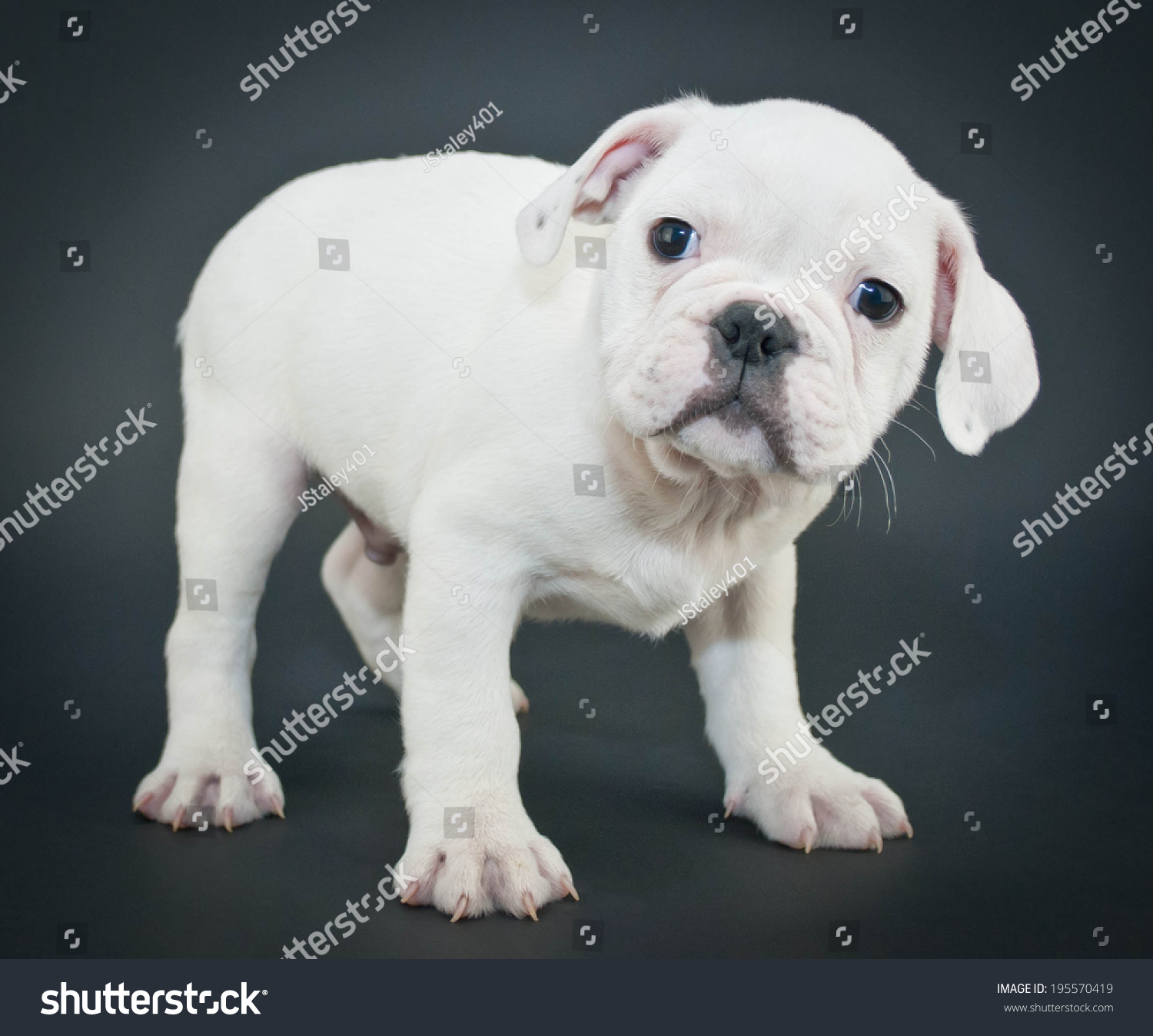 Cute White English Bulldog Puppy Standing Stock Photo Edit Now 195570419