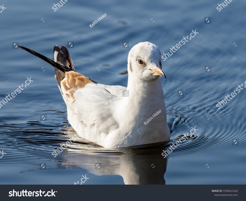 A juvenile black-headed gull (Chroicocephalus ridibundus) seen sitting on water in early Spring. #1958261626