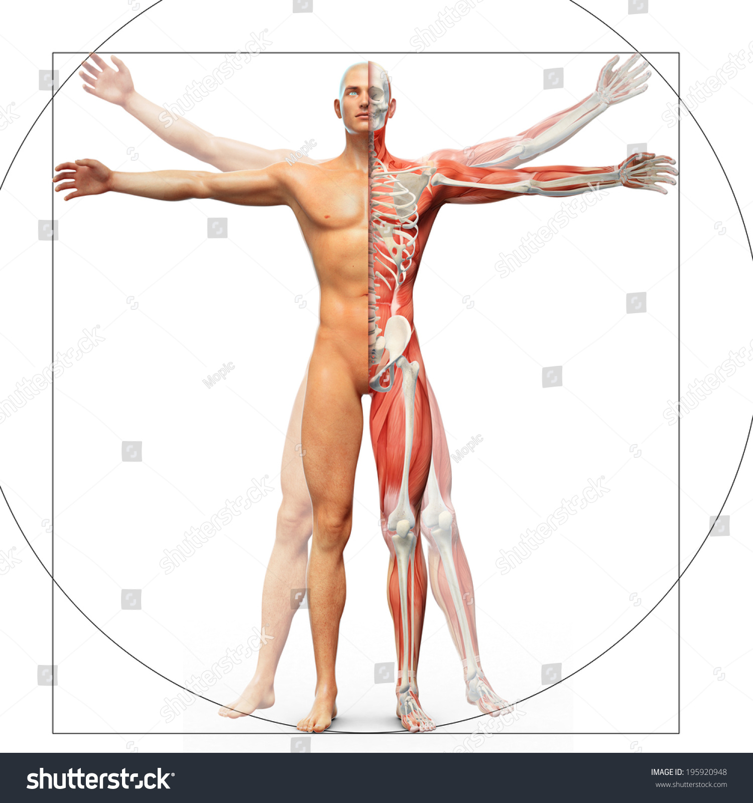 Human Anatomy Displayed Vitruvian Man By Stock Illustration
