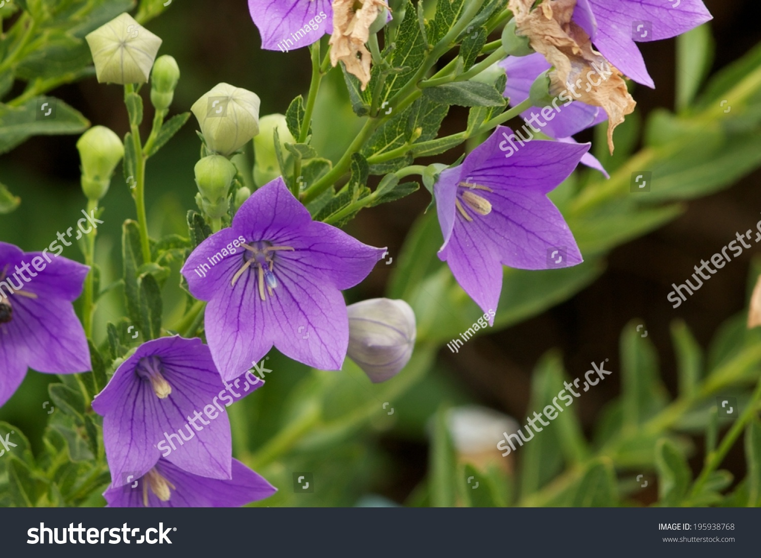 Purple Balloon Flower Purple Star Shaped Stock Photo Edit Now