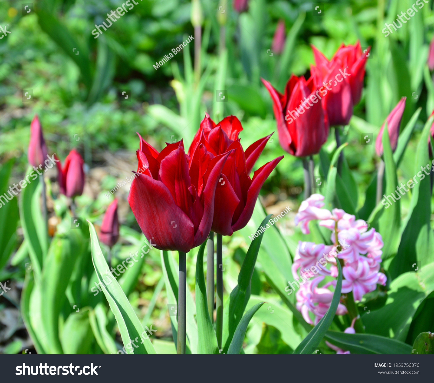 stock-photo-wonderful-red-tulips-in-a-pa