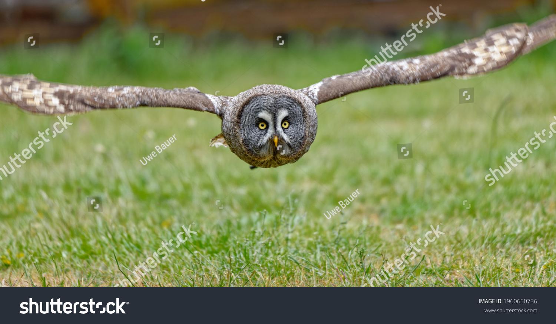 Flying Great grey owl (Strix nebulosa)
