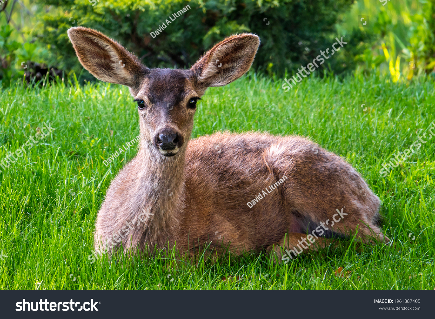 A Columbian Black-tailed deer doe (Odocoileus hemionus) sits on the grass in the hills of Monterey, California. The black-tail is a type of mule deer of the Pacific Northwest.
