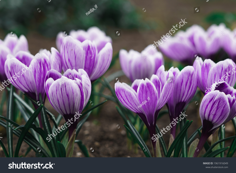 Purple Crocus Flowers in Spring. High quality photo #1961916049