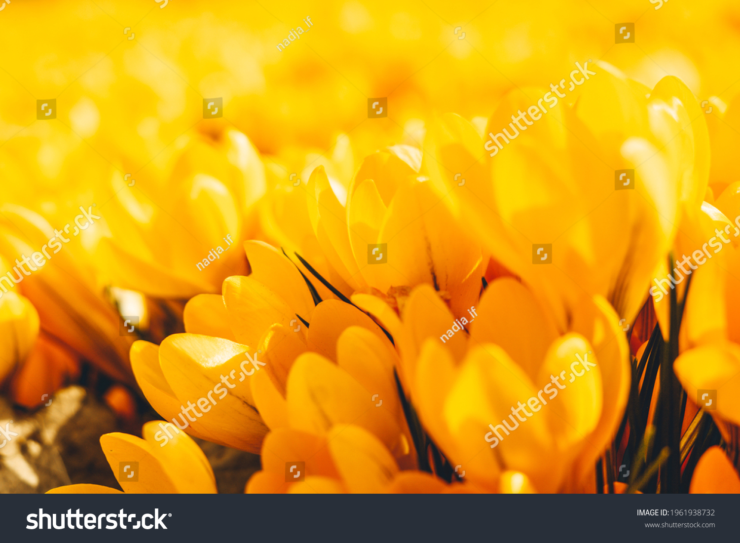 Yellow crocuses in the early spring. High quality photo #1961938732
