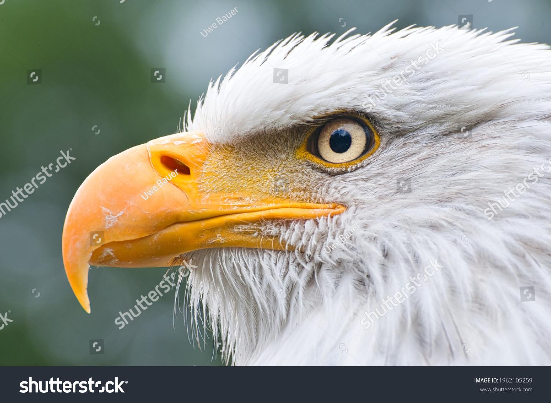 stock-photo-american-bald-eagle-detailed
