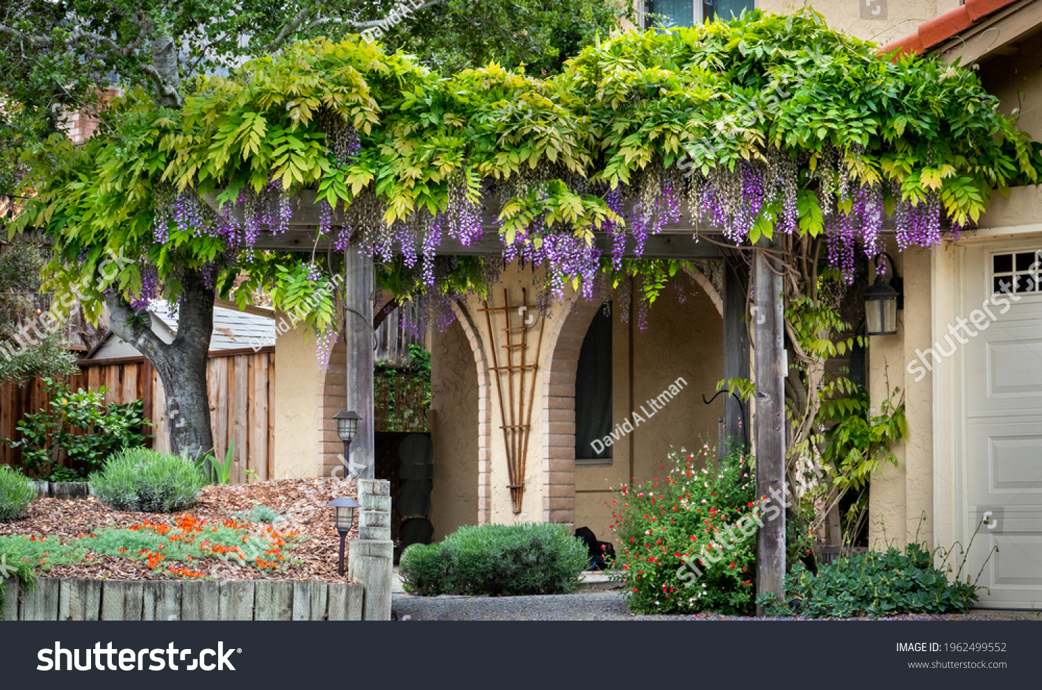A colorful blooming Wisteria plant with purple flowers grows on a trellis in California.