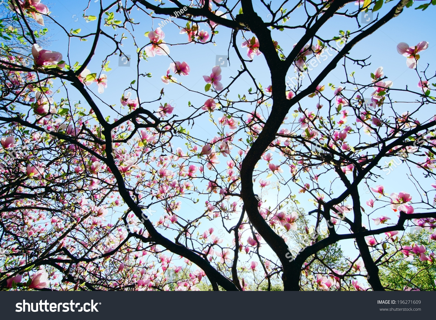 Blooming Magnolia Tree Pink Flowers Against Stock Photo 196271609