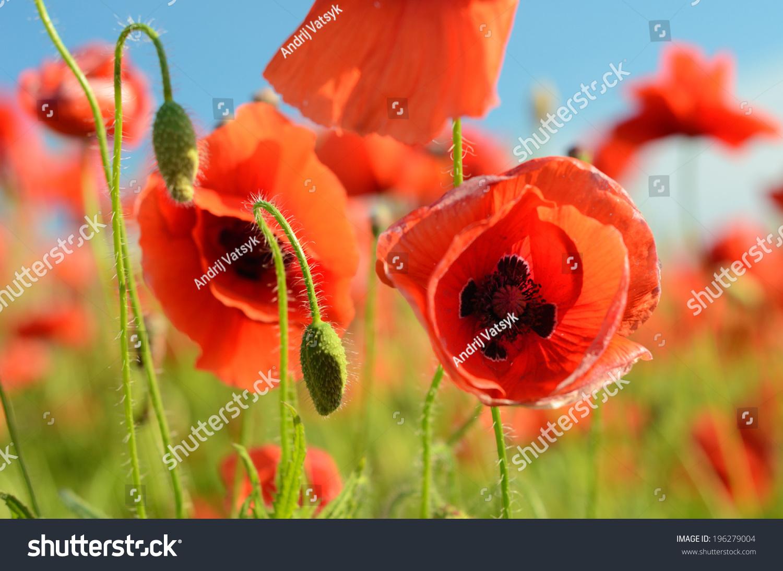 Beautiful Poppy Flower Against Sky Pastel Stock Photo (100% Legal ...