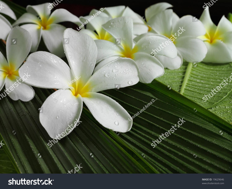 exotic white tropical flowers plumeria closeup macro on green, Beautiful flower