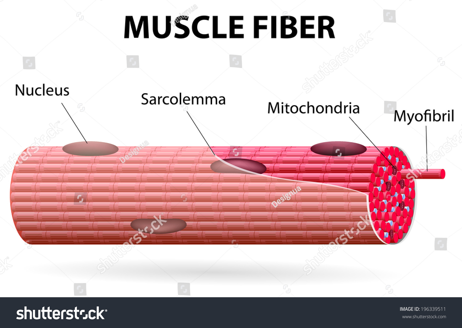 Skeletal Muscle Cells Tubular They Have Stock Vector Royalty Free
