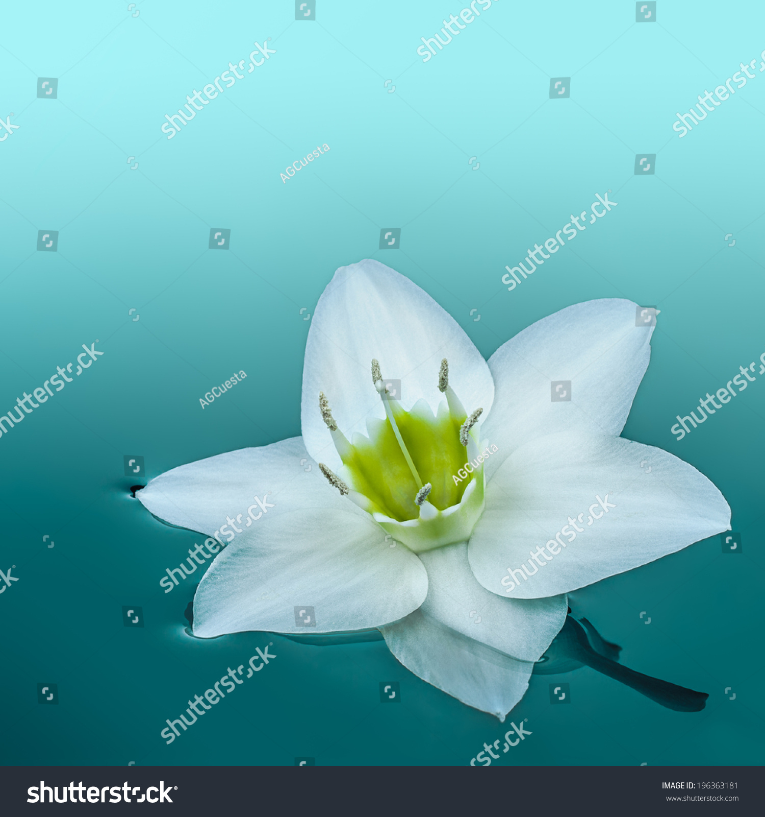 White Amazon Lily Flower Afloat On Stock Photo Edit Now 196363181