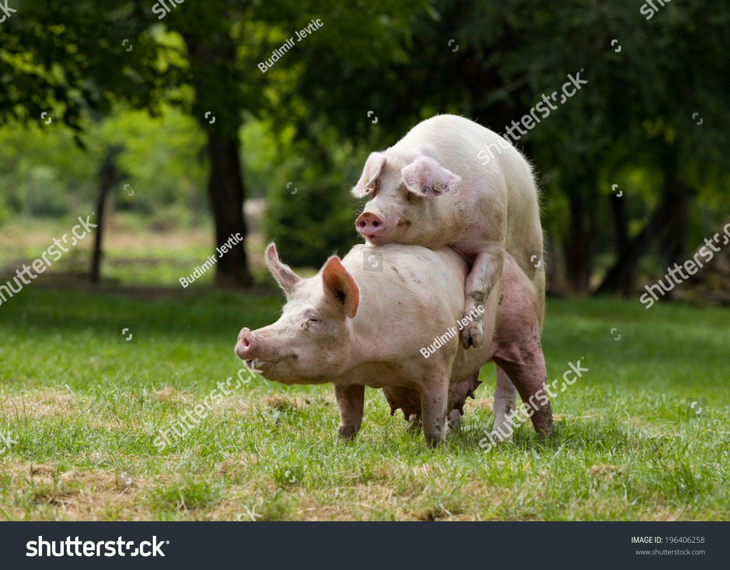 Pigs Mating On Farm Trees Background Stock Photo 196406258 ...