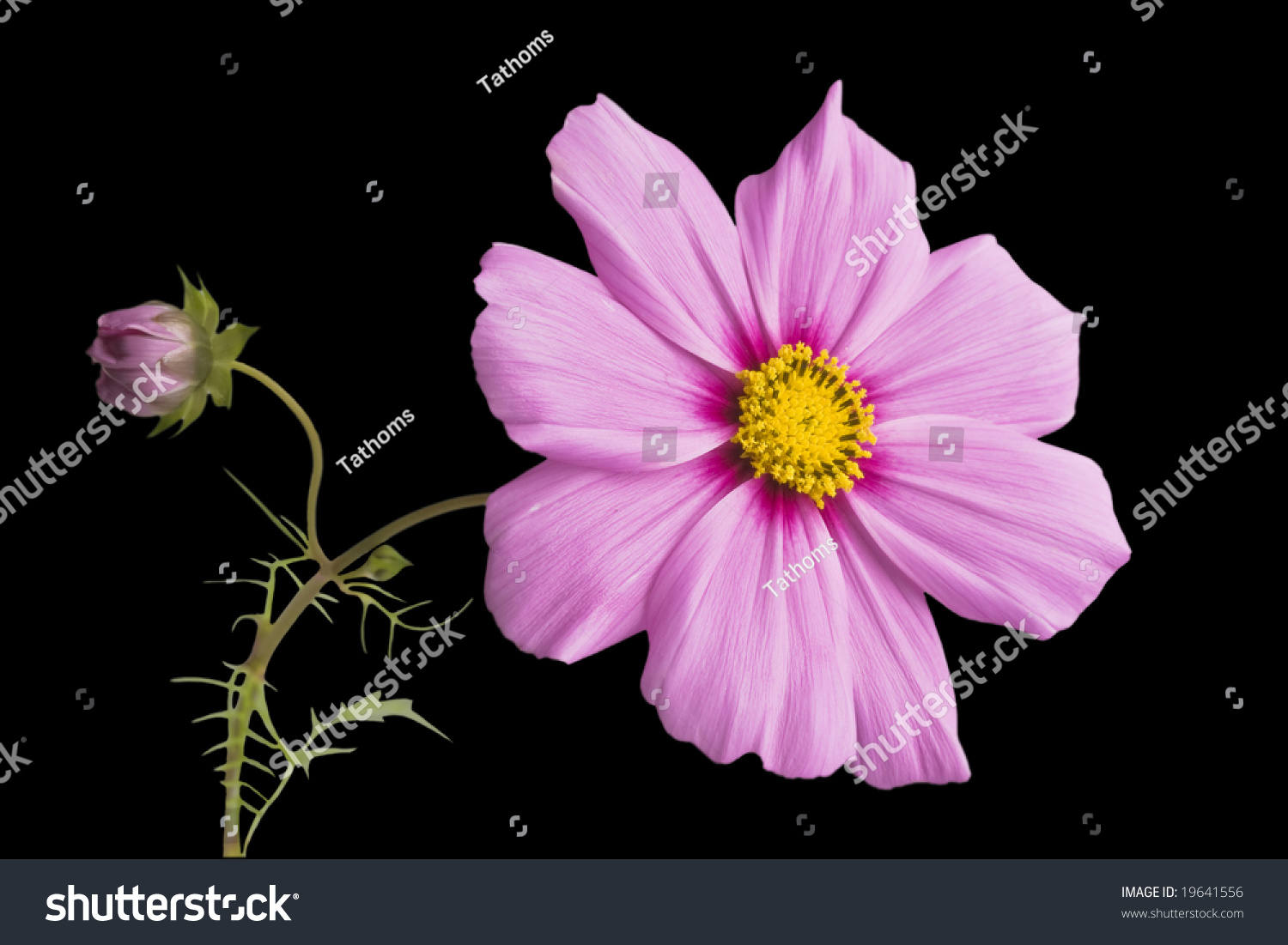 stock-photo-pink-flower-with-bud-on-blac