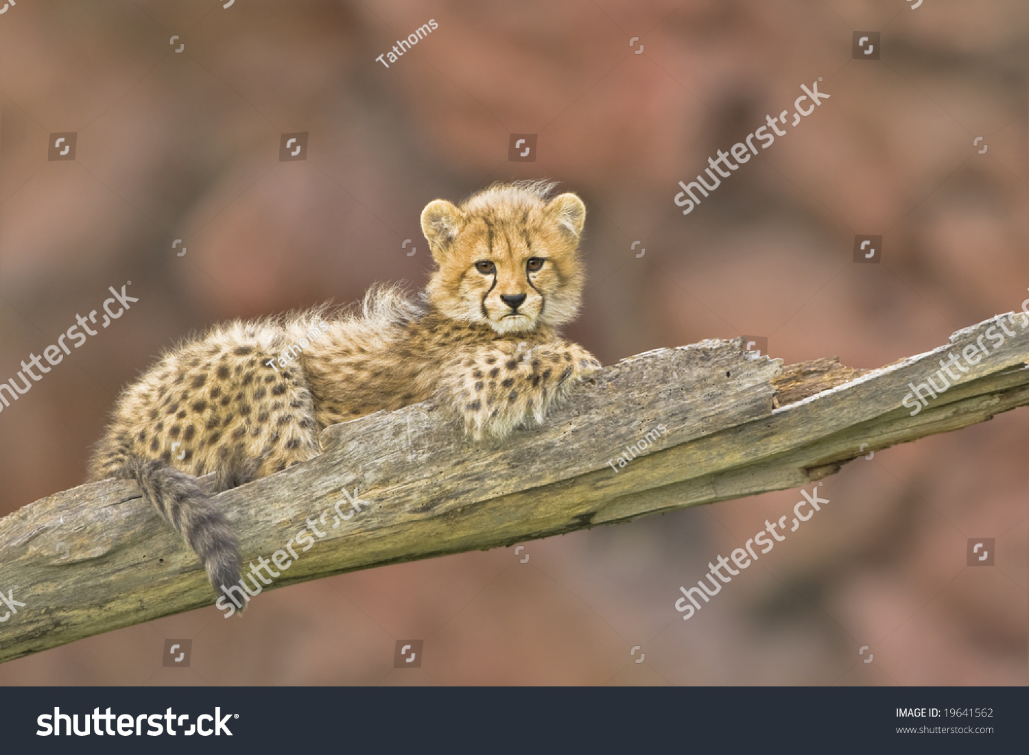 stock-photo--months-old-cheetah-cub-1964