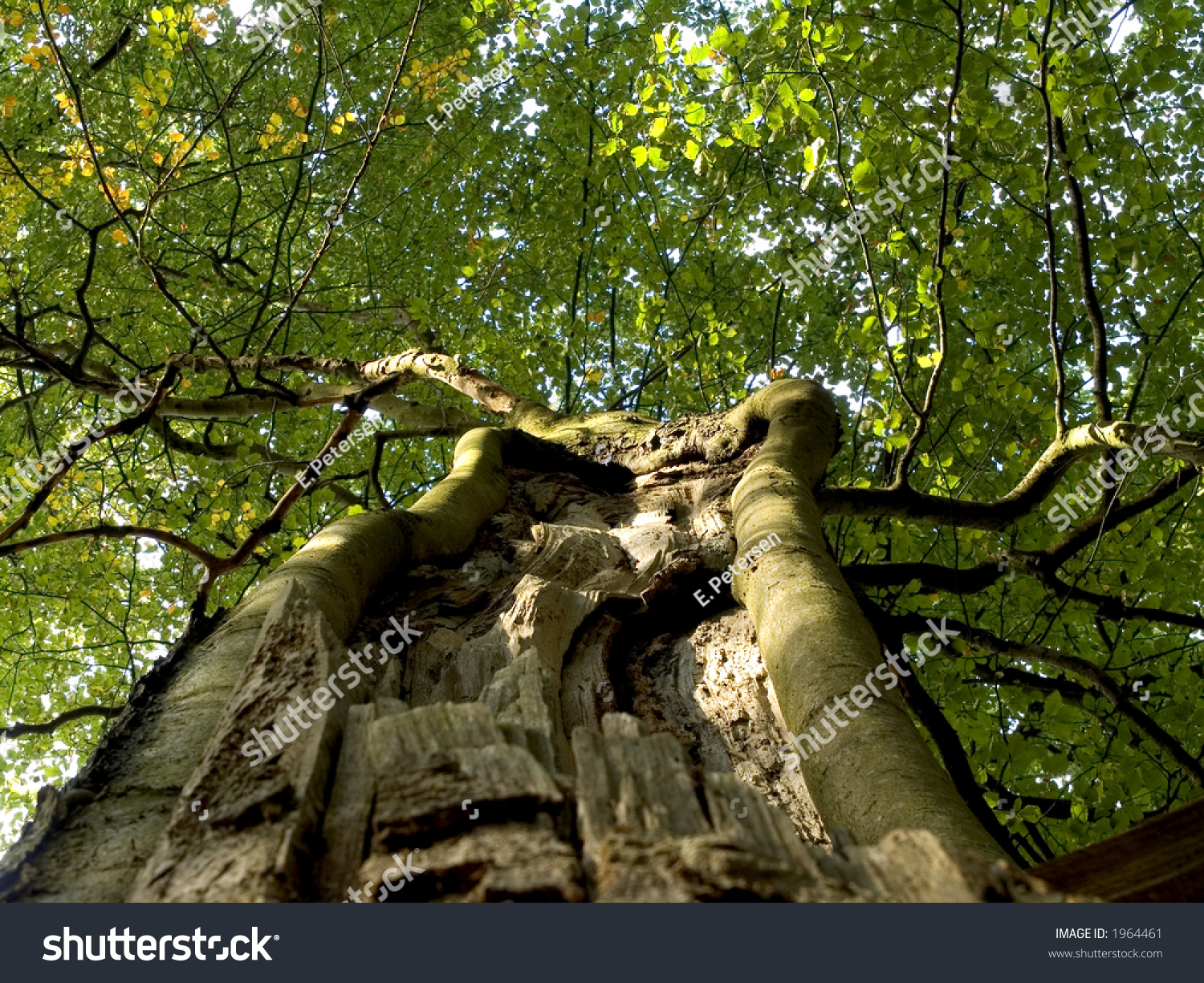 Beech tree split by lightning jutland denmark stock