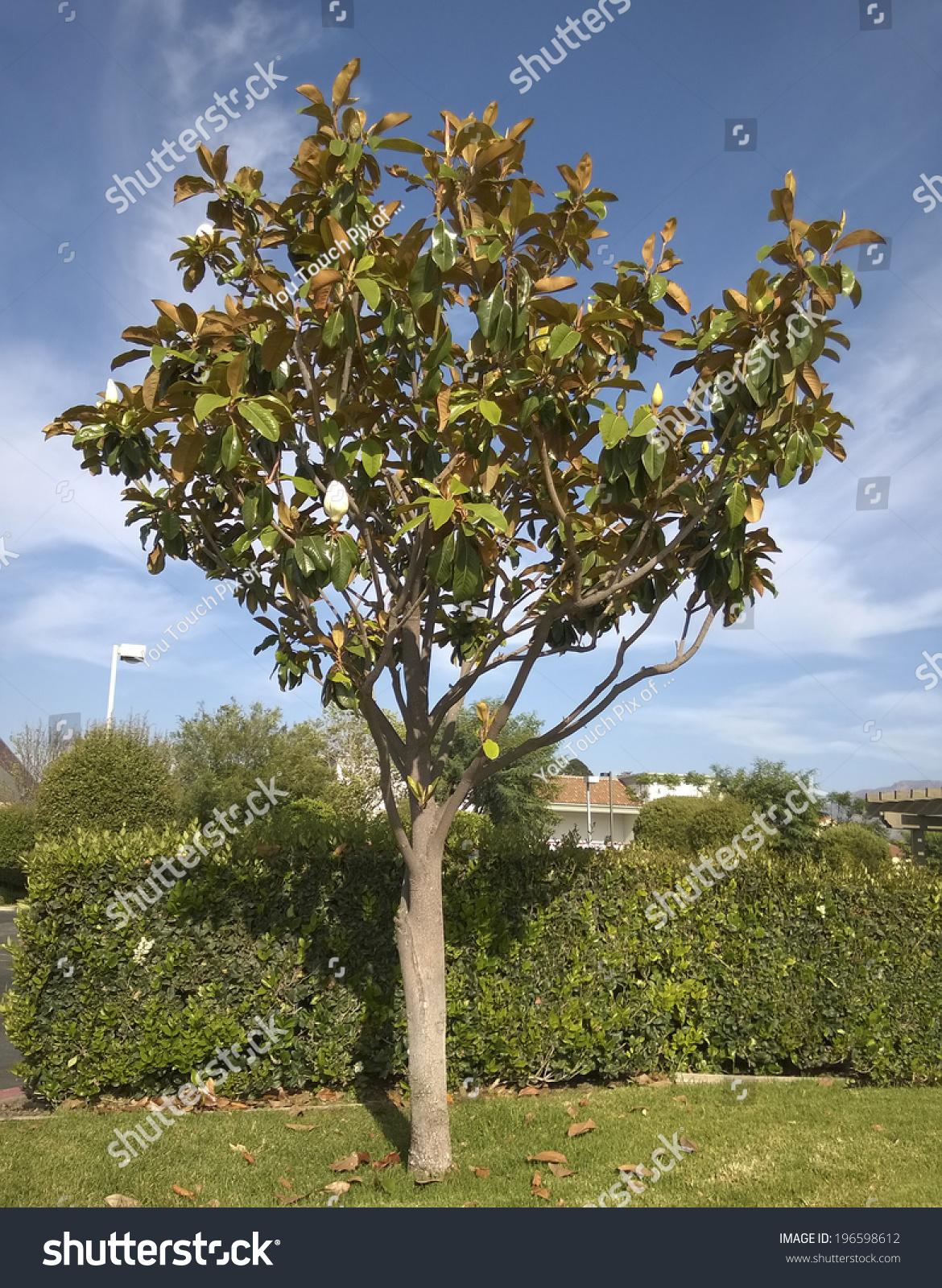 Southern California Magnolia Tree Open White Stock Photo Royalty