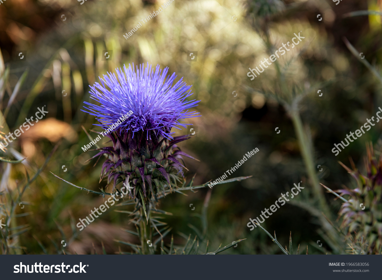 stock-photo-wild-thistle-with-purple-flo