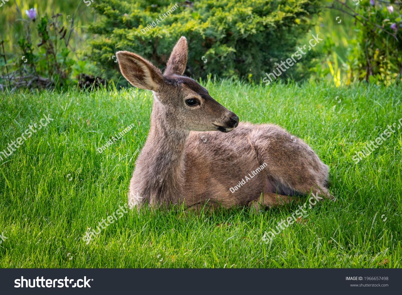 stock-photo-a-columbian-black-tailed-deer-doe-odocoileus-hemionus-sits-on-the-grass-in-the-hills-of-monterey-1966657498.jpg