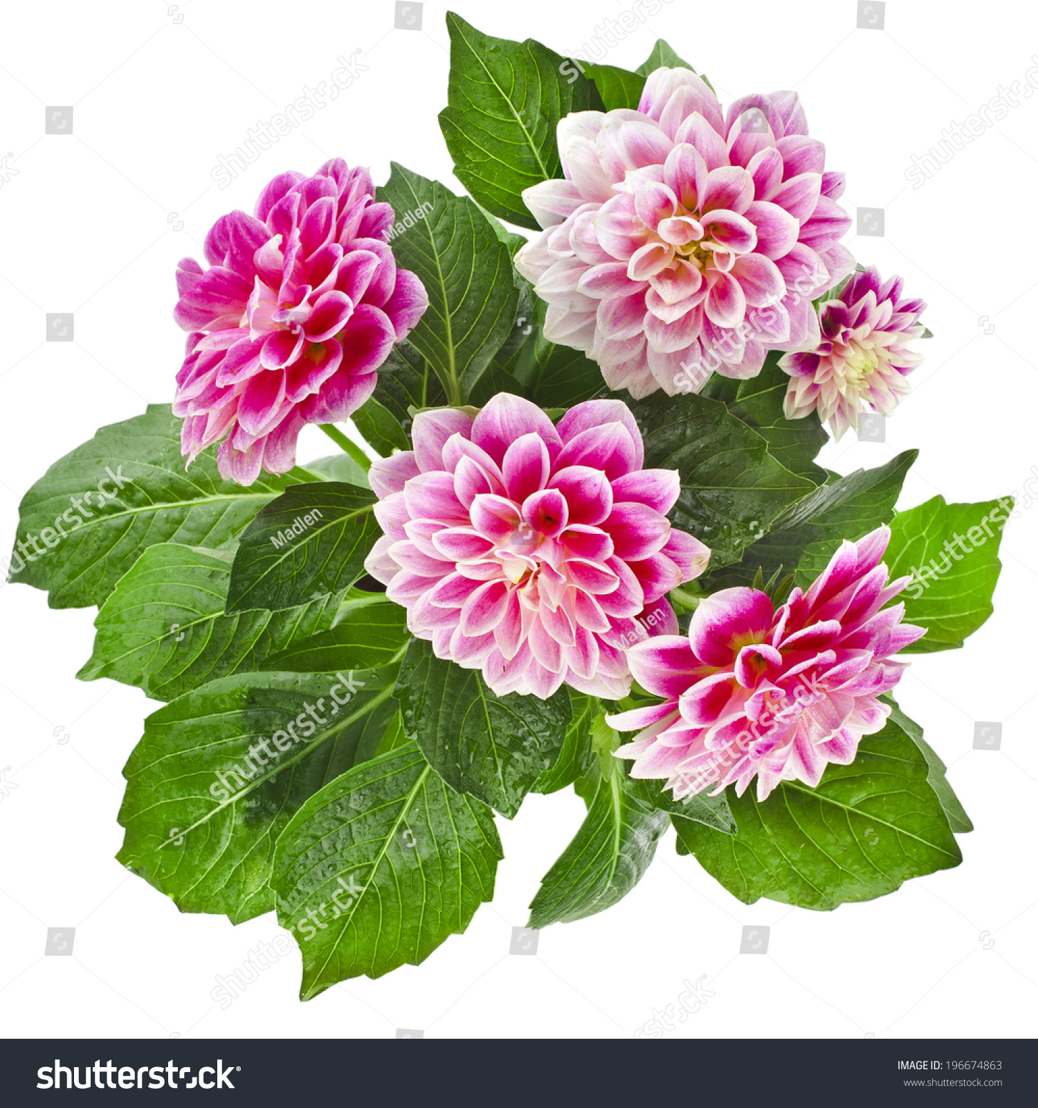 Beautiful Pink Dahlia Flowers Bouquet Isolated Stock Photo (Edit Now ...