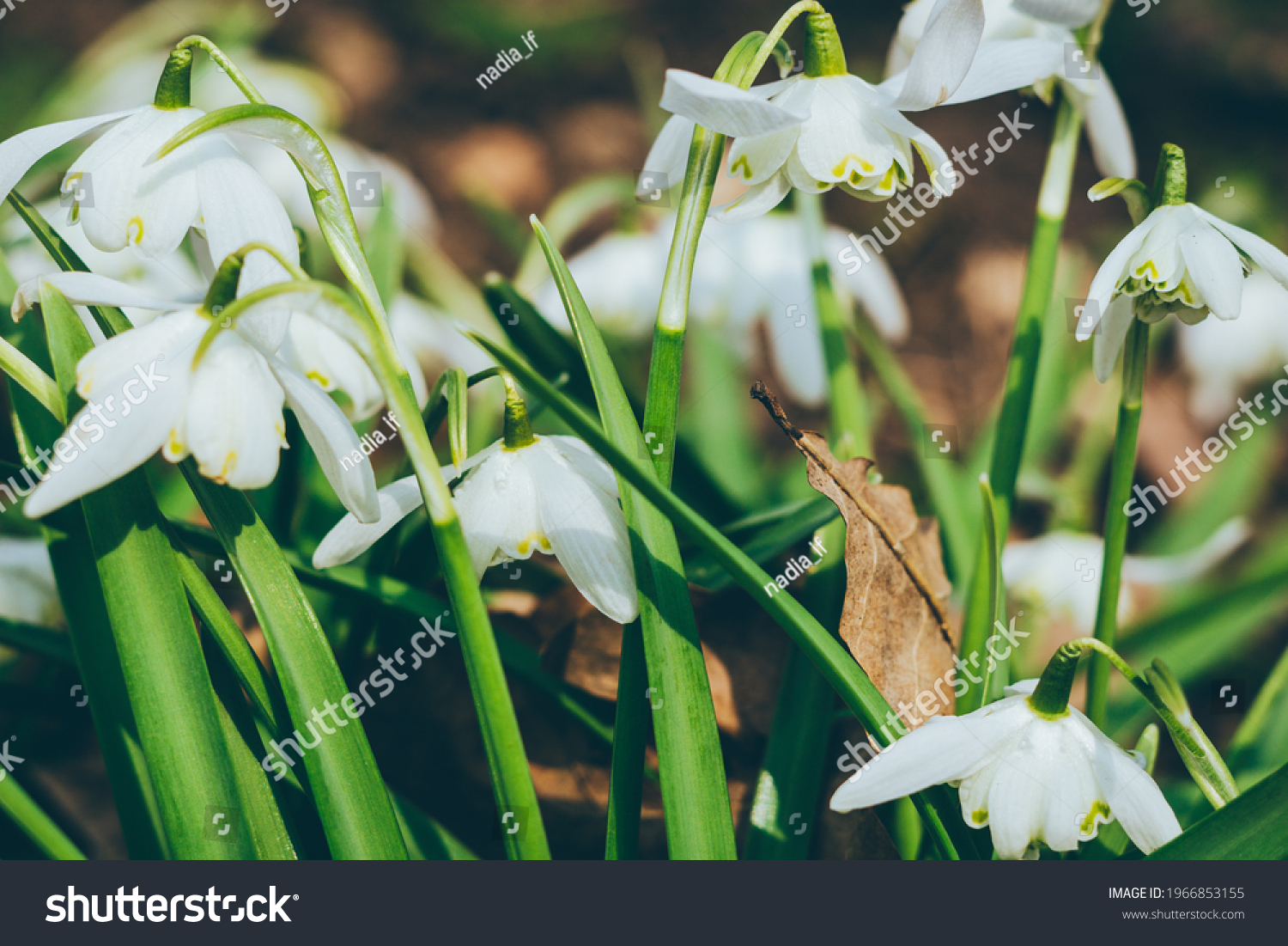 Close up of common snowdrops in bloom. High quality photo #1966853155