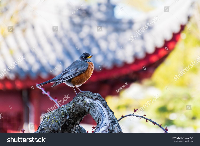 stock-photo-view-of-an-american-robin-tu