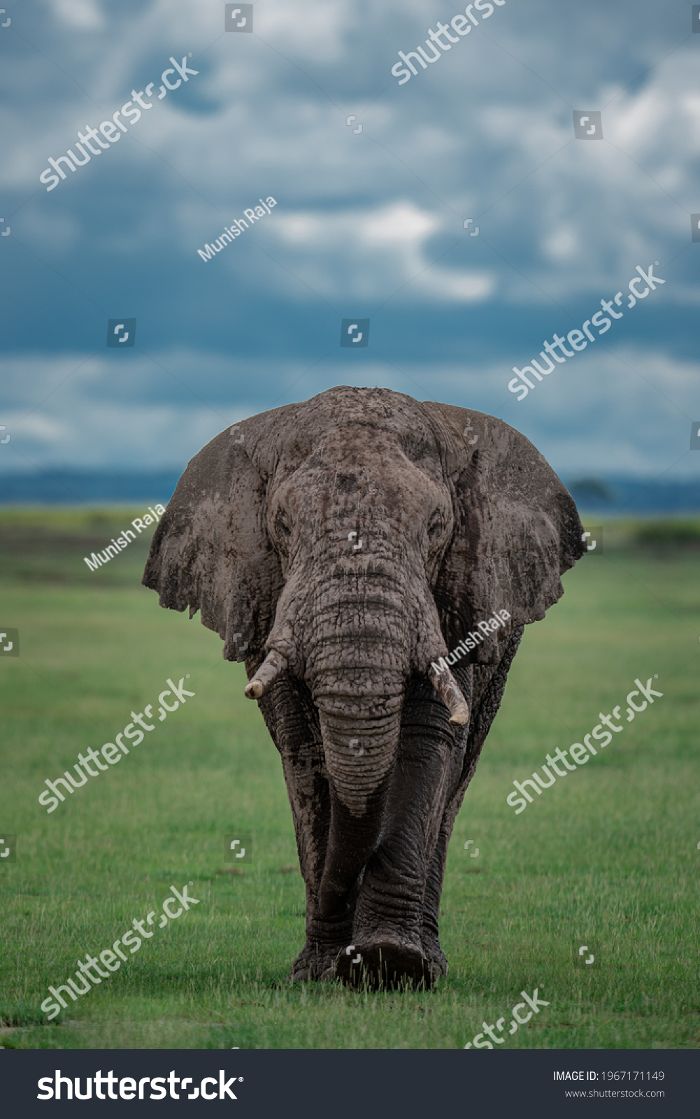 The bold African tusker - Male Elephant #1967171149