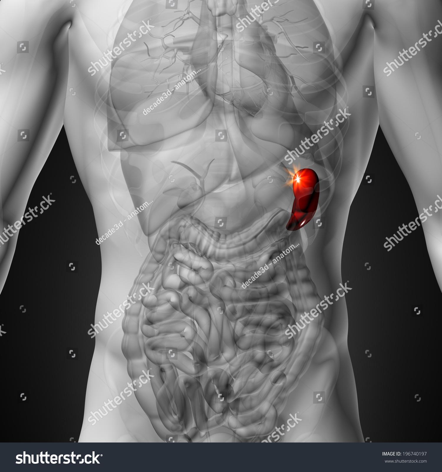 Spleen Male Anatomy Human Organs Stock Illustration 196740197 ...