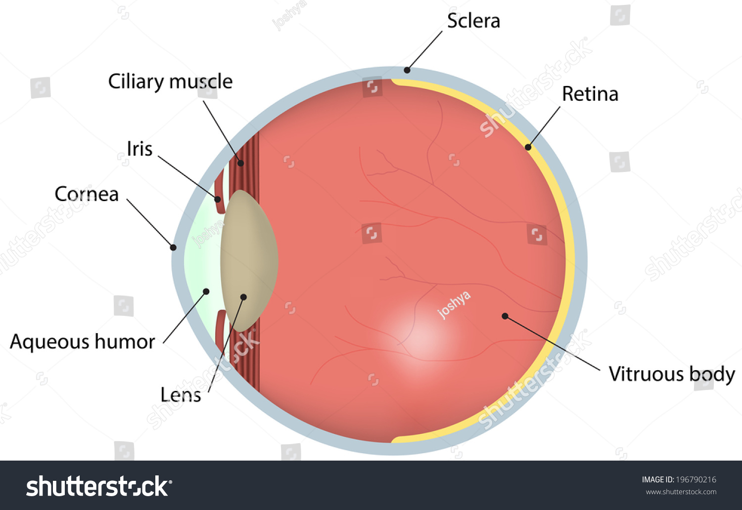 Royalty Free Stock Illustration Of Eye Cross Section Labeled Diagram