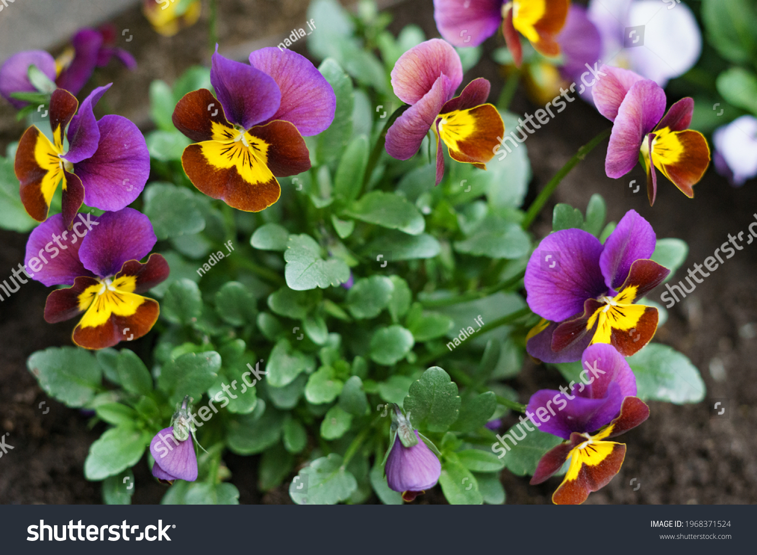 Blue violet flower in the garden. High quality photo #1968371524