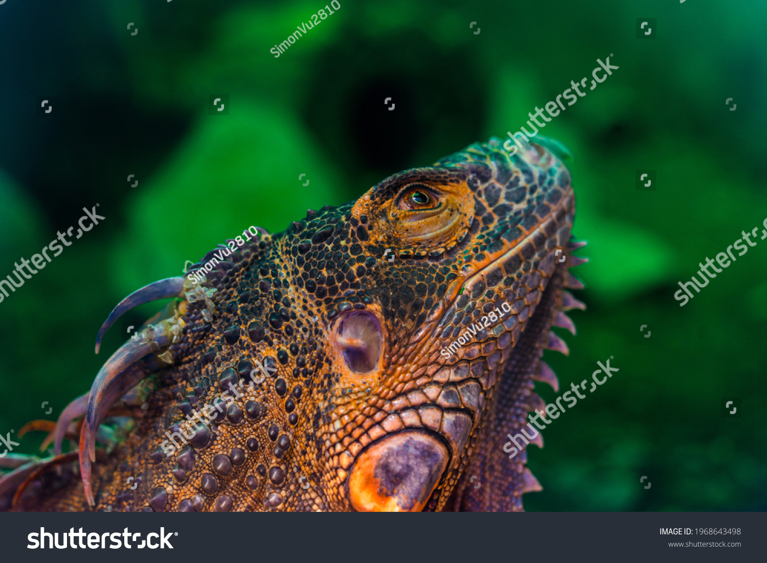 Green iguana. Iguana - also known as Common iguana or American iguana. Lizard families, look toward a bright eyes looking in the same direction as we find something new life. Selective focus. #1968643498