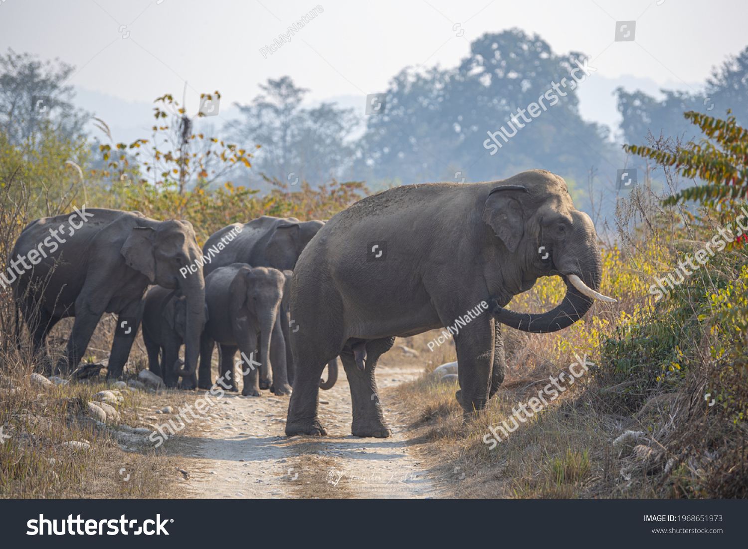 Asiatic Elephant Tuskers are found in various parts of India. Elephants are known for their long lasting memory and they generally take the same route while heading towards a destination #1968651973