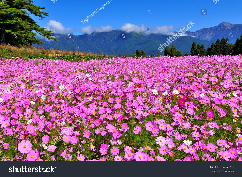Field Pink Flowers Front Treeline Mountain Stock Photo Royalty Free
