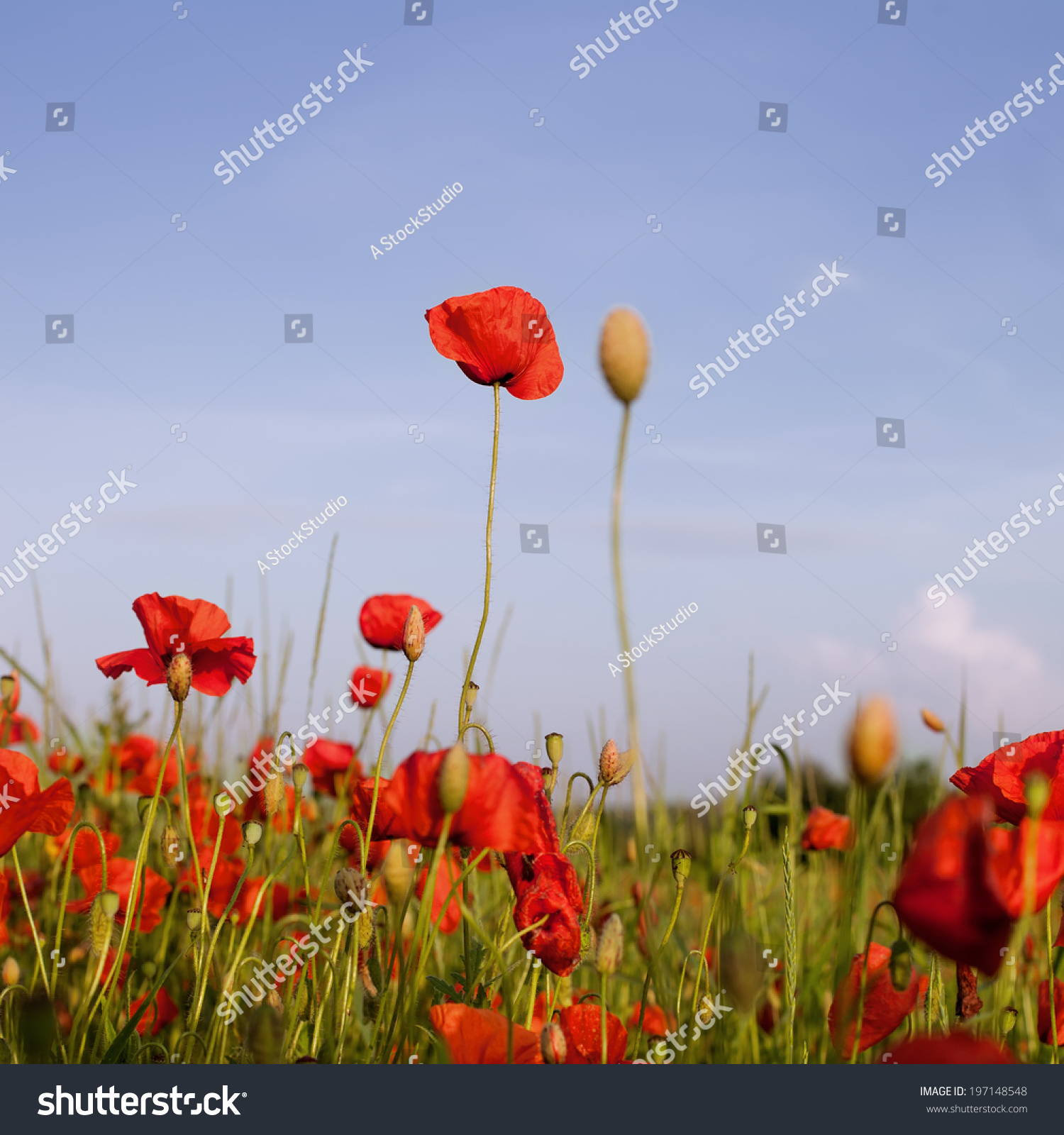 Red Poppies On Green Field Wild Stock Photo Edit Now 197148548