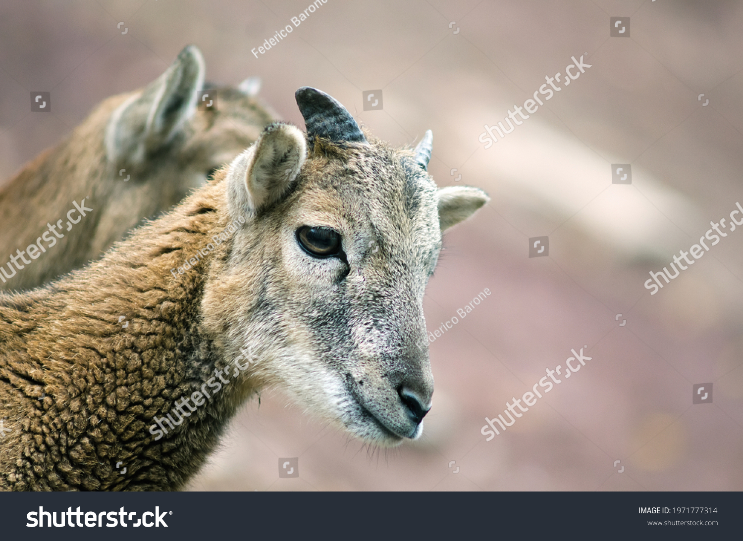 stock-photo-close-up-of-a-mouflon-in-the