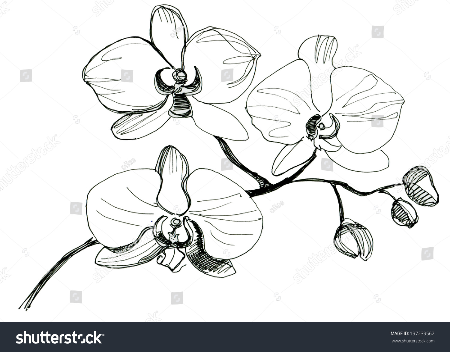 Orchid Flower Line Drawing : Hand drawing orchid flower sketch stock illustration