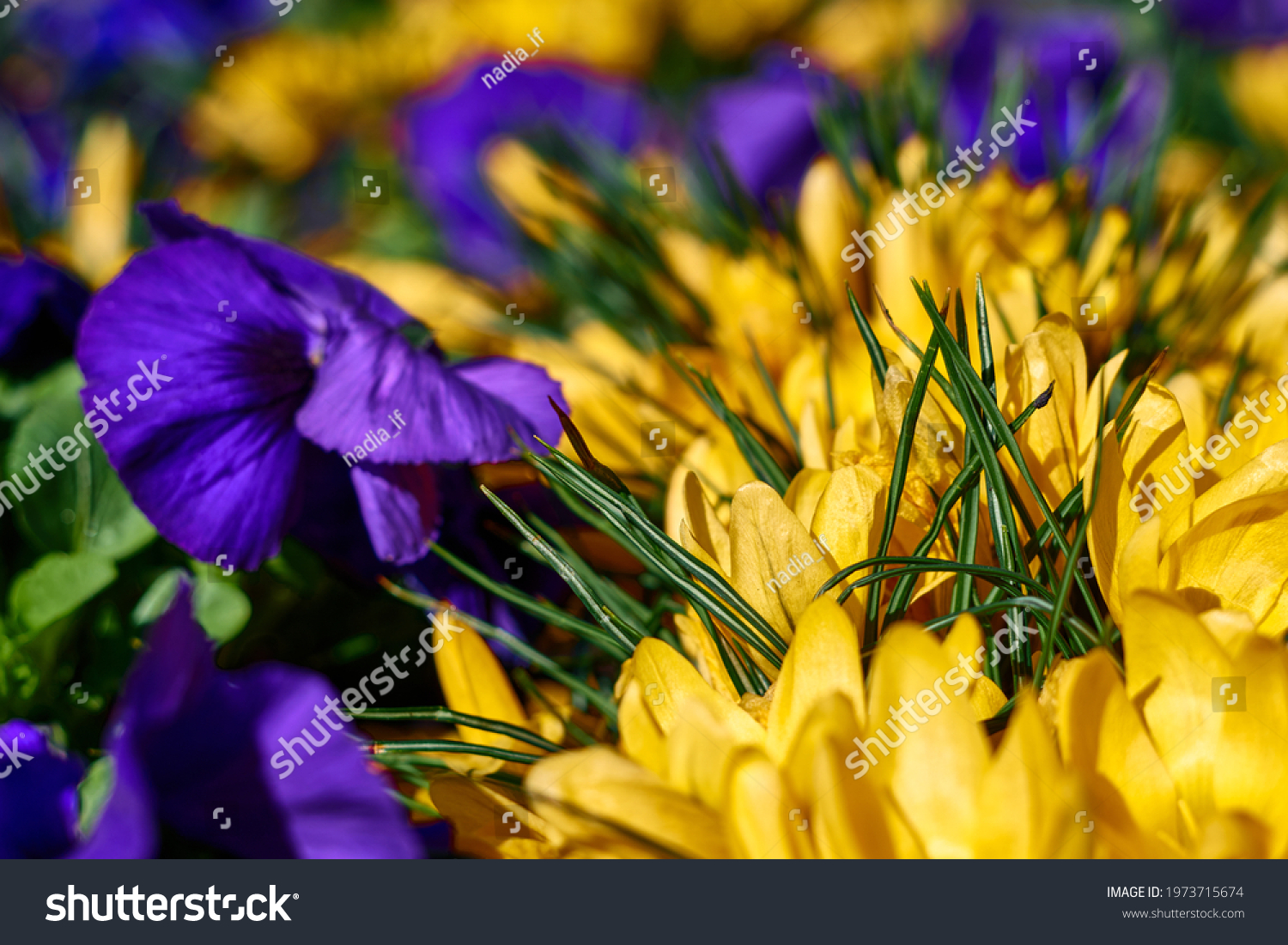 beautiful yellow crocus and purple pansies in blooming. High quality photo #1973715674